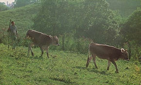 Grazing the Cows