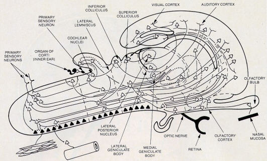 Some Of The Main Neural Pathways In The Brain
