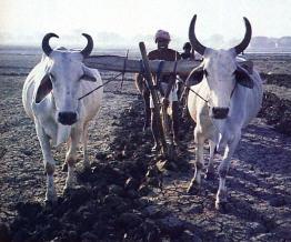 Farm in ISKCON Mayapur