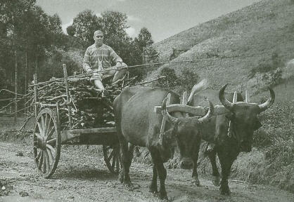 Oxen Haul Firewood To The Temple at Nova Gokula Farm, Brazil