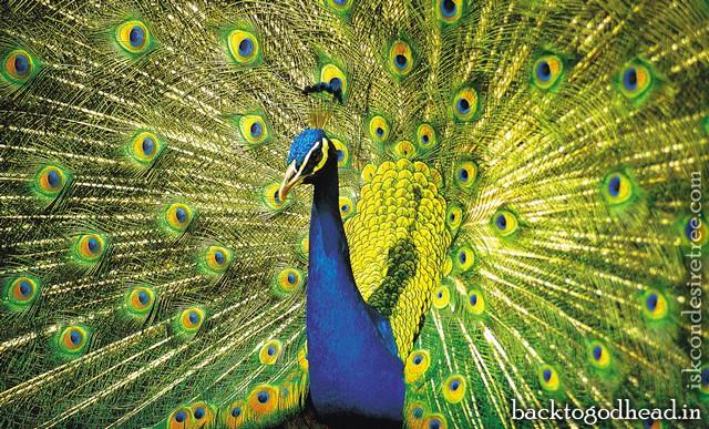 peacock - Back To Godhead